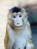 Zielona małpa Zdjęcia Stock