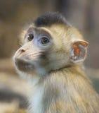 Zielona małpa & x28; baby& x29; Obrazy Stock