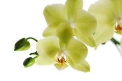 zielona makro- orchidea Fotografia Royalty Free