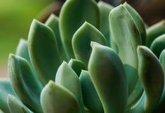 Zielona makro- pojedyncza tłustoszowata fotografia fotografia royalty free
