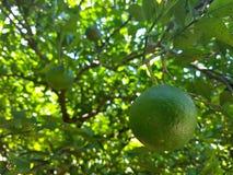 zielona mandarynka Obraz Stock