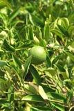 zielona mandarynka Fotografia Royalty Free