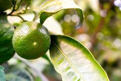 Zielona mandarynka na drzewnym zakończeniu Świeży zielony mandarynki obwieszenie na mandarynki drzewie zdjęcia royalty free