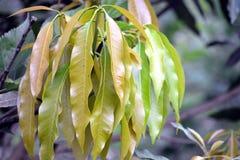 Zielona Mangowa roślina w ogródzie obrazy royalty free