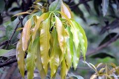 Zielona Mangowa roślina w ogródzie zdjęcia royalty free