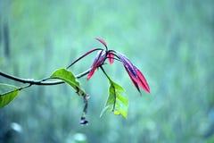 Zielona Mangowa roślina w ogródzie obraz royalty free