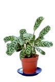 Zielona maranty roślina w flowerpot odizolowywającym na bielu Obrazy Stock