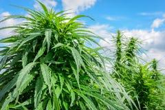 Zielona marihuana plenerowa Obraz Royalty Free