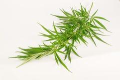 Zielona marihuany gałąź zdjęcie royalty free