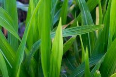zielona masa kukurudza, pole uprawne roślina w greenfield Tajlandia, masowy o obraz stock