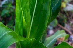 zielona masa kukurudza, pole uprawne roślina w greenfield Tajlandia, masowy o zdjęcia stock