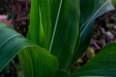zielona masa kukurudza, pole uprawne roślina w greenfield Tajlandia, masowy o obraz royalty free