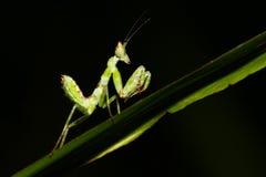 Zielona modliszka Fotografia Stock