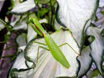 Zielona modliszka Zdjęcia Royalty Free