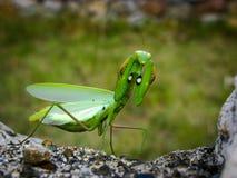 zielona modliszka Zdjęcie Royalty Free