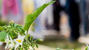 Zielona modliszka pod liściem Zdjęcia Royalty Free