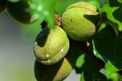 Zielona morela na drzewie Obrazy Royalty Free
