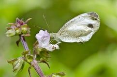 zielona motyl natura Obraz Royalty Free
