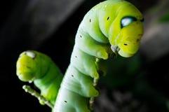Zielona motylia dżdżownica Zdjęcia Stock