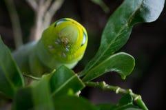 Zielona motylia dżdżownica Obraz Royalty Free