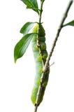 Zielona motylia dżdżownica na odosobnionym Obraz Stock