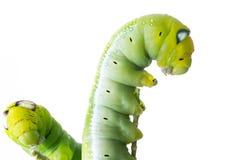 Zielona motylia dżdżownica na odosobnionym Obrazy Royalty Free