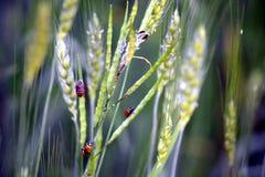 Zielona musztarda i Zbożowa roślina Z biedronką obrazy royalty free