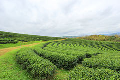 Zielona natura przy Choui Fong Herbacianą plantacją Obraz Stock