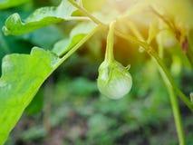 Zielona oberżyna Zdjęcie Stock