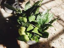 zielona obramiająca zdjęciu poziomo roślinnych Obraz Royalty Free