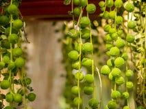Zielona okrąg roślina Zdjęcie Stock