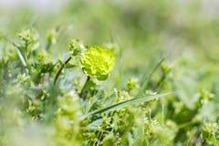Zielona okulizowanie roślina w trawie Obraz Royalty Free