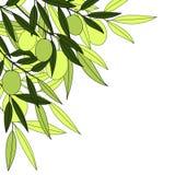 zielona oliwka Obrazy Royalty Free