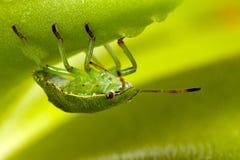 Zielona osłony pluskwa na butterworts 4 Obraz Royalty Free