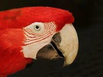 Zielona oskrzydlona ara (papuga) Obraz Royalty Free