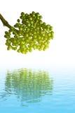 Zielona owoc Obrazy Stock