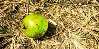Zielona owoc fotografia royalty free