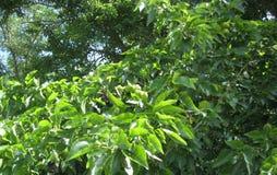 Zielona owoc na drzewie zdjęcia royalty free