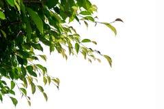 Zielona Płacząca figa, Ficus gałąź odizolowywa na białym tle Zdjęcia Stock