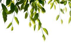 Zielona Płacząca figa, Ficus gałąź odizolowywa na białym tle Zdjęcie Royalty Free