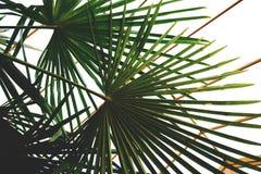 Zielona palma opuszcza w wintergarden w domu zdjęcia royalty free