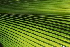 Zielona palmowego liścia tekstura Zdjęcie Stock