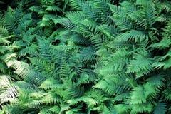 Zielona paproć jako tło Zdjęcia Royalty Free