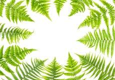 Zielona paproć opuszcza Kwiecistą ramę Obrazy Royalty Free
