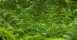 Zielona paproć zasadza tło Obrazy Stock