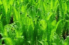 Zielona paproć Fotografia Royalty Free