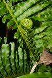 Zielona paproć Zdjęcia Stock