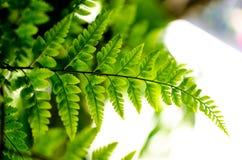 Zielona paproć obraz stock