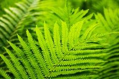 Zielona paproć Obraz Royalty Free