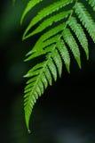 Zielona paproć na czarnym tle Fotografia Stock